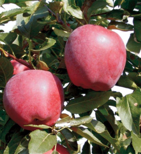 Măr soiul starkimson